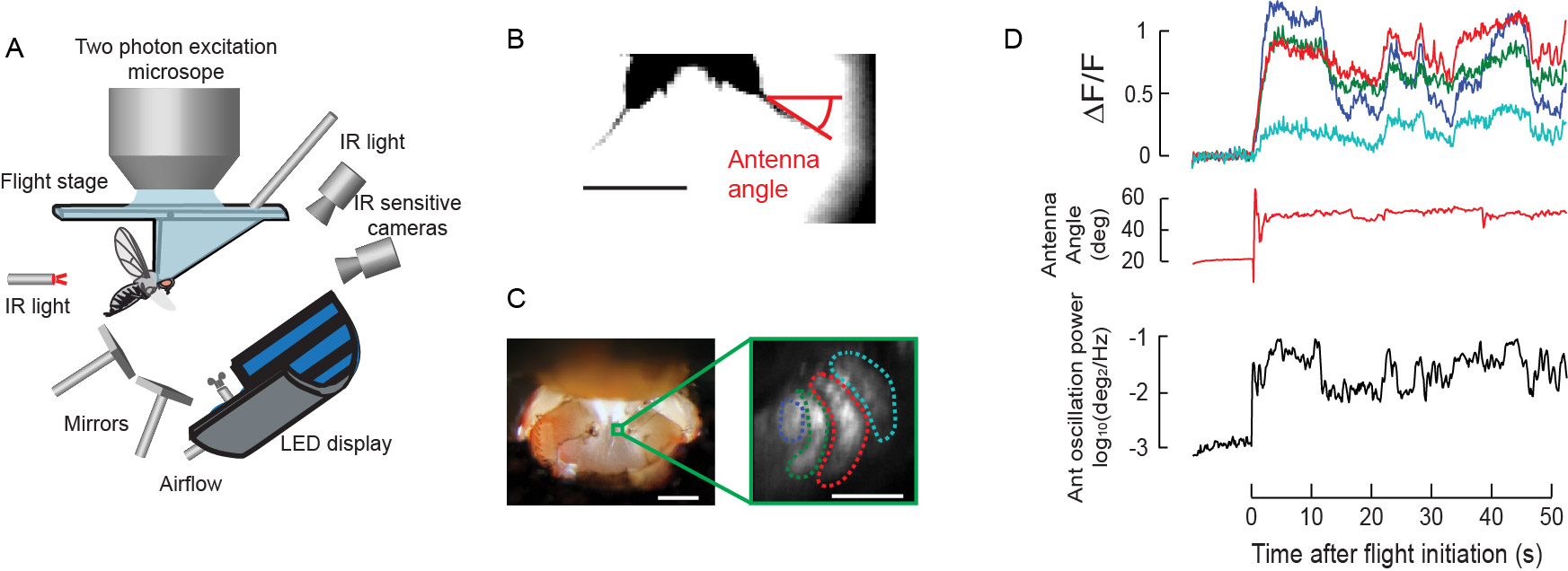 Simultaneous 2-photon calcium imaging and antenna tracking in a flying fruit fly